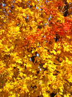 Tree covered of golden, orange and red leaves of Fall, Autumn-Stock Photos