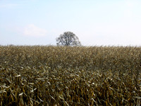 Field of corn after harvest with a clear sky and a unique tree-stock photos
