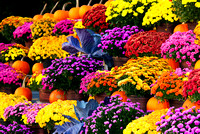 Colorful flowers with pumpkins display