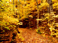 Pathway in the woods with golden leaves covering the trees in autumn of Quebec