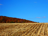Golden field of corn in autumn with colorful tree and blue sky