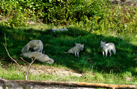 Arctic wolf family in the mountain