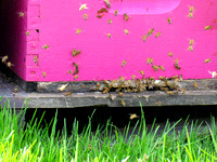 Pink Entrance of a beehive with bees flying around