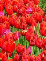 Close-up on red tulips in a field during spring time