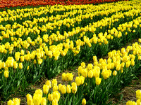 Field covered of yellow tulips and some orange tulips in the background