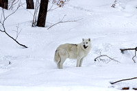 White arctic wolf standing in the snow near the woods in winter
