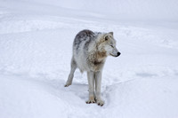 White and grey arctic wolf standing in the snow, eyes closed