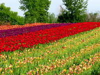 Rows of different colors of tulips in a field