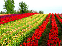 Field of multi color tulips in the country
