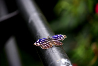 Mexican Bluewing butterfly on a post