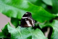 Great common eggfly butterfly male on a green leaf
