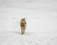 Arctic wolf walking in the snow-Stock Photos