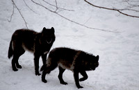 Couple of black wolf-Stock Photos