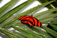 Captive Banded Orange Butterfly on a leaf