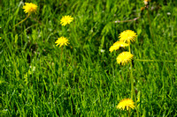 Close-Up Of Dandelions Blooming In Field