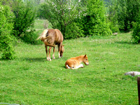 Colt laying in grass and Mare standing-TIFF