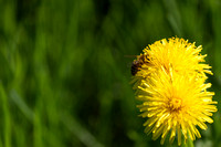 Bee on a dandelion full of nectar-Stock Photos