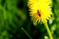 Close-Up Of Dandelions Blooming In Field with a bee on it