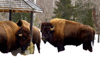 Bison eating at the food station in winter