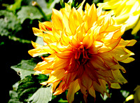Yellow and red line Dahlia flower