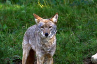 Coyote in the grass-Stock Photos