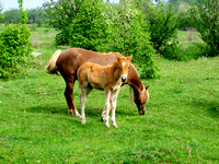 Butterscotch foal stands in paddock with mother-TIFF
