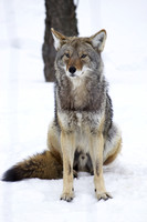 Coyote sitting in the snow-Stock Photos