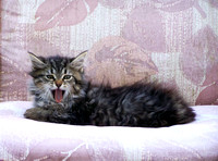Little Taby kitten yawning on a patio chair.