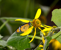 African Monarch Butterfly on yellow flower